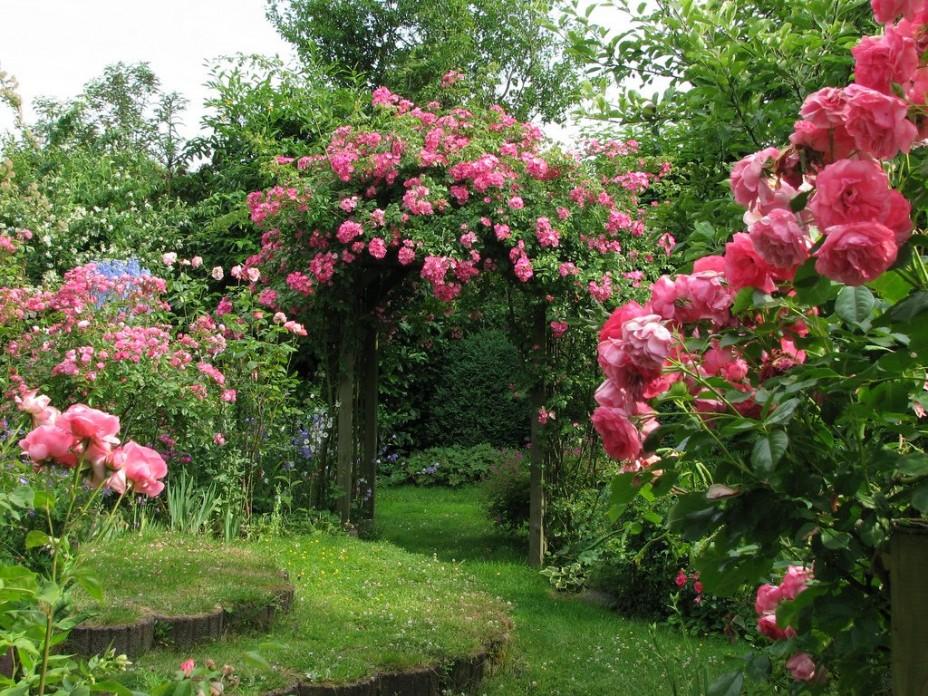 Фото розы в саду 2